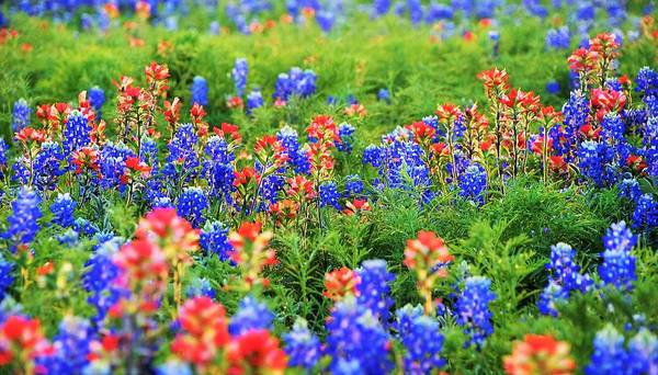 Texas Bluebonnet Digital Art - Eye Candy In Sunset by Pamela Smale Williams