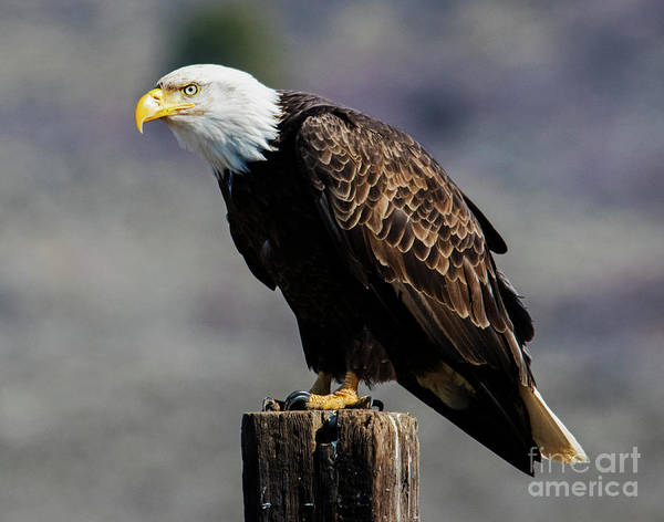 Wall Art - Photograph - Eye Of The Eagle by Mike Dawson
