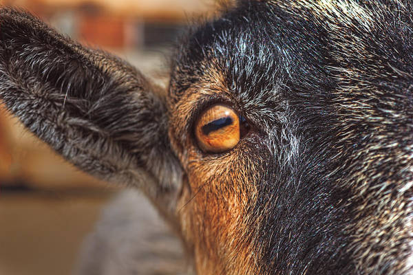 Photograph - Eye Of The Goat  by Brian Cross
