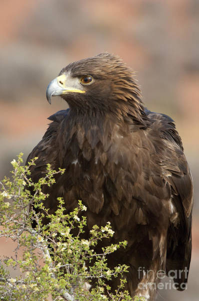 Golden Eagle Photograph - Eye Of The Golden Eagle by Sandra Bronstein