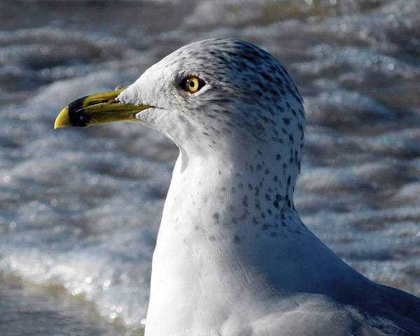 Photograph - Eye Of The Gull by Robb Stan