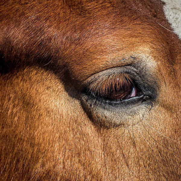 Gentle Man Wall Art - Photograph - Eye Of The Horse by Paul Freidlund