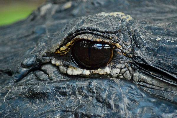 Photograph - Eye Of The Predator - American Alligator by KJ Swan
