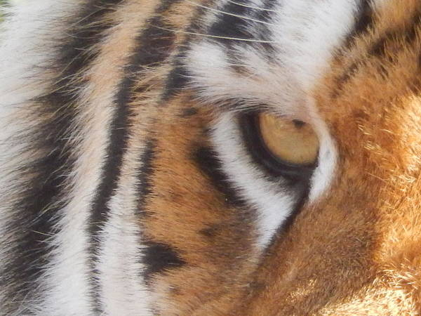 Wall Art - Photograph - Eye Of The Tiger by Carolyn McClish
