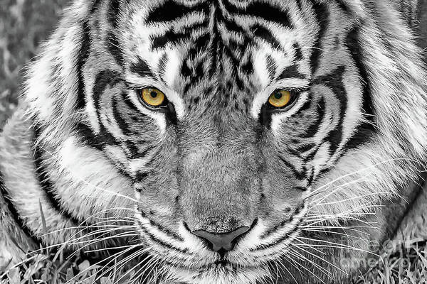 Digital Art - Eye Of The Tiger by Ray Shiu