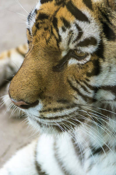 Photograph - Eye Of The Tiger by Stewart Helberg