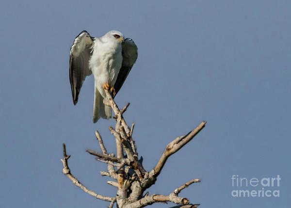 White-tailed Kite Photograph - Eye See Danger... by Carl Jackson