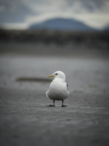 Photograph - Eye-to-eye With A Kittiwake by Ian Johnson