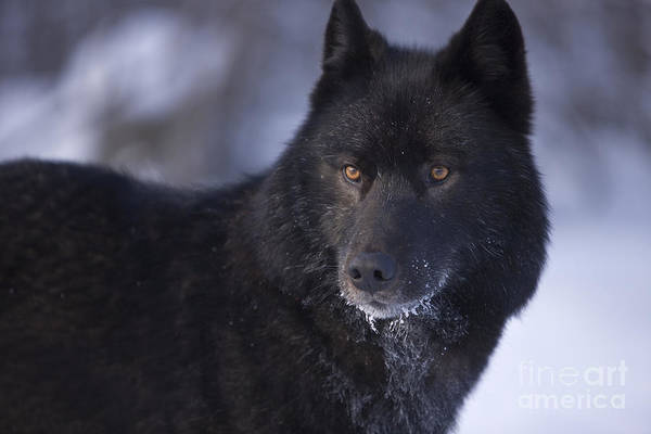 Wall Art - Photograph - Eyes Of A Black Wolf by John Hyde - Printscapes