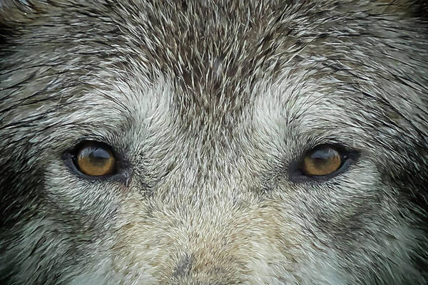 Photograph - Eyes Of A Wolf by Belinda Greb