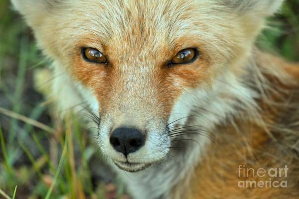 Photograph - Eyes Of The Fox by Adam Jewell
