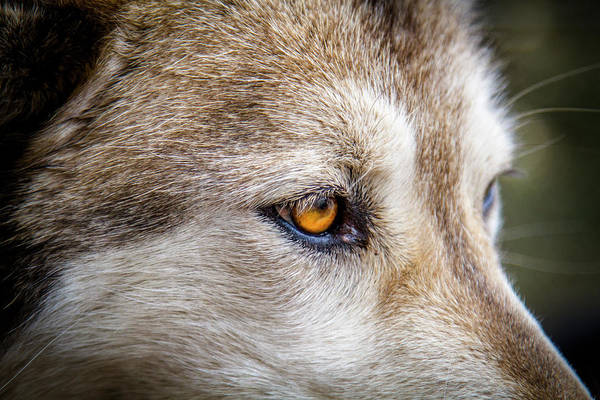 Photograph - Eyes Of The Gray Wolf by Teri Virbickis