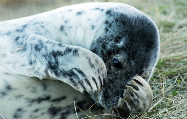 Photograph - Eys On Seal Pup  by Cliff Norton