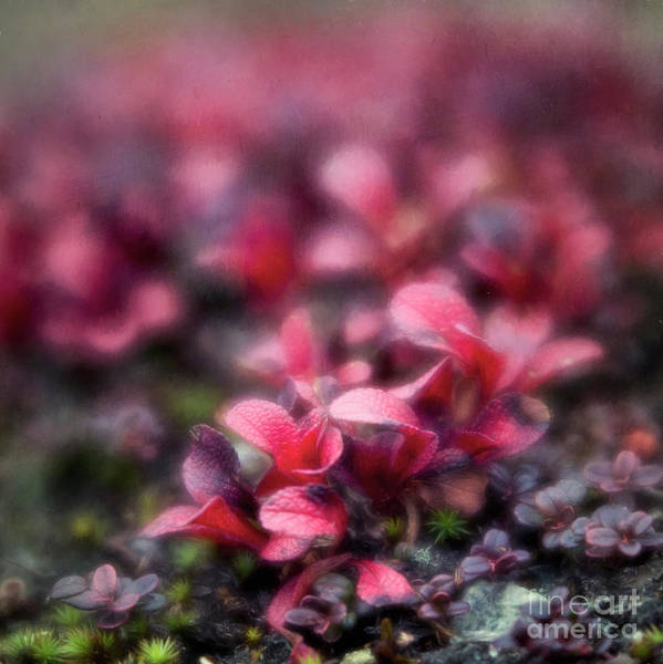 Wall Art - Photograph - Bearberry Leaves by Priska Wettstein
