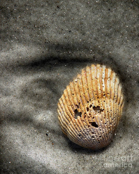 Three Seashells Photograph - Face In The Shell by Tom Gari Gallery-Three-Photography
