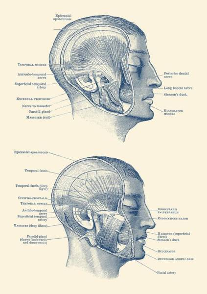 Nerves Drawing - Face Muscular Diagram - Dual Side View - Vintage Print by Vintage Anatomy Prints