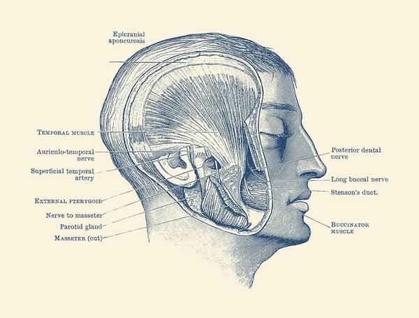 Nerves Drawing - Face Muscular Diagram - Vintage Anatomy Print by Vintage Anatomy Prints