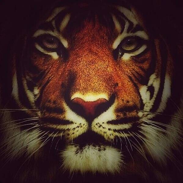 Photograph - Face Of A Tiger by Eddie G