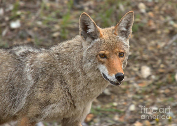 Photograph - Face Of The American Coyote by Adam Jewell