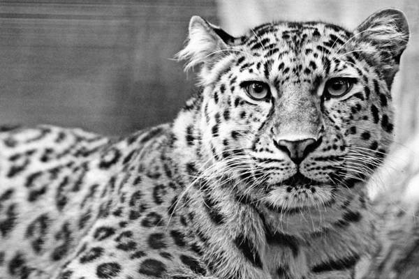 Sascha Wall Art - Photograph - Face To Face With A Leopard by Sascha Richartz