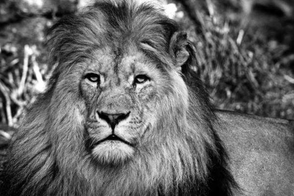 Sascha Wall Art - Photograph - Face To Face With The King Of The Jungle by Sascha Richartz