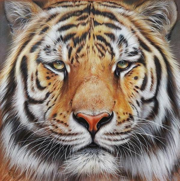Drawing - Faces Of The Wild - Amur Tiger by Elena Kolotusha