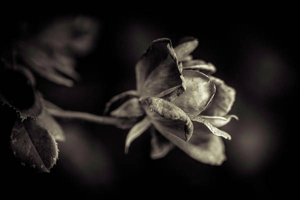 Photograph - Faded Beauty by Allin Sorenson