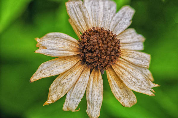 Photograph - Faded Cone Flower by Tom Singleton