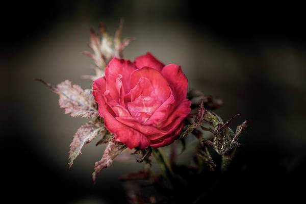 Photograph - Fading Beauty by Allin Sorenson