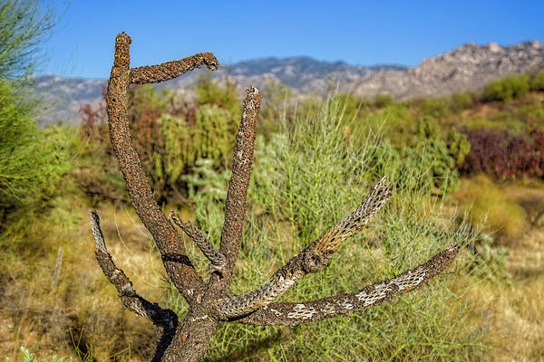 Photograph - Fading Cholla H1818 by Mark Myhaver