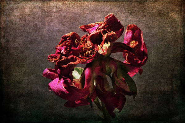 Photograph - Fading Glory by Randi Grace Nilsberg