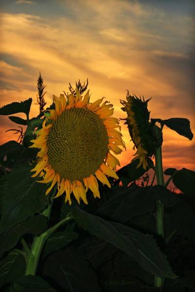 Wall Art - Photograph - Fading Sunflower by Chris Berry
