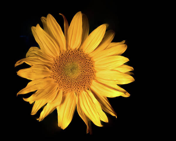 Photograph - Fading Sunflower by Philip Rodgers