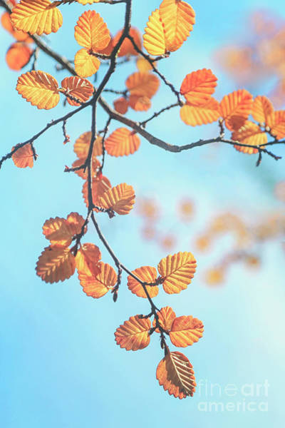 Autumnal Wall Art - Photograph - Fagus Melody by Evelina Kremsdorf