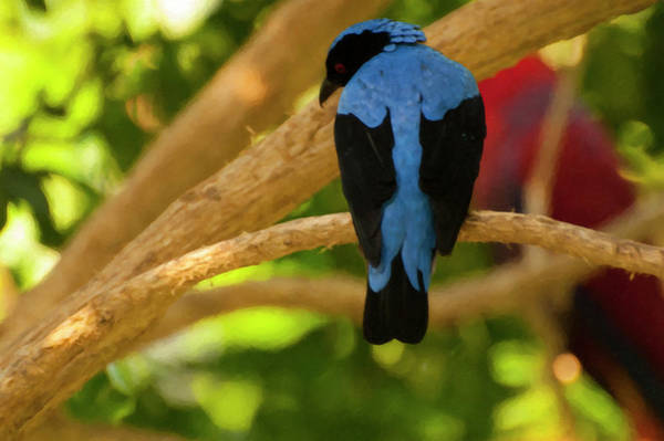 Photograph - Fairy Bluebird Male Digital Oil  by Chris Flees