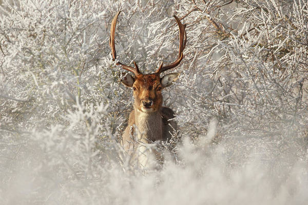 Wall Art - Photograph - Fairytale Fallow Deer In The Frost by Roeselien Raimond