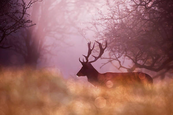 Wall Art - Photograph - Fairytale Fallow Deer  by Roeselien Raimond