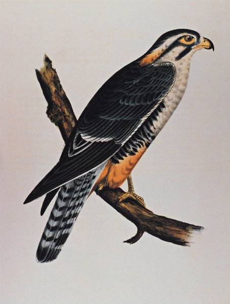 Waiting Room Drawing - Falcon Aplomado Falcon by Movie Poster Prints
