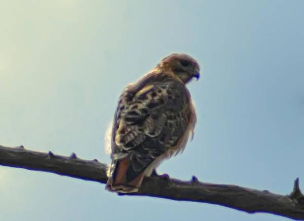 Peregrine Photograph - Falcon by Bill Cannon