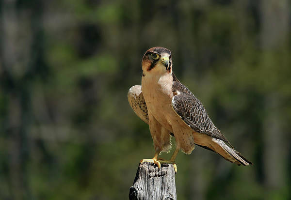 Photograph - Falcon by Ronnie and Frances Howard