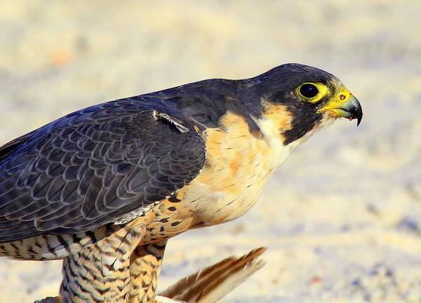 Photograph - Falcon by Sean Allen