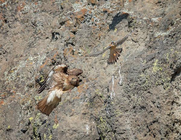 Photograph - Falcon Vs. Hawk by Loree Johnson
