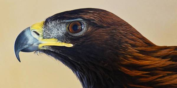 Falconer's Hawk - Harris Hawk Art Print