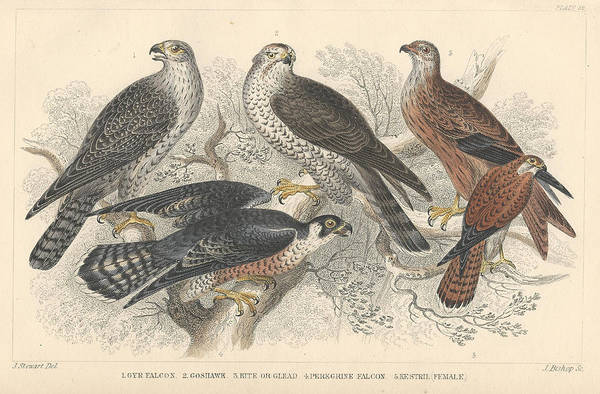 Print Drawing - Falcons by Dreyer Wildlife Print Collections