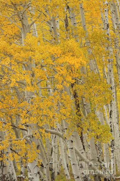 Wall Art - Photograph - Fall Aspen Grove by Ronda Kimbrow