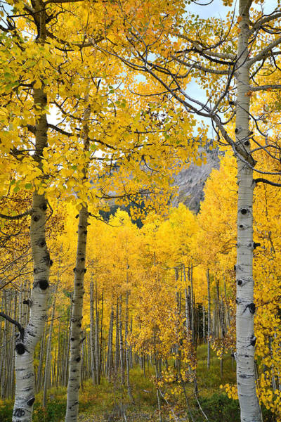 Photograph - Fall Aspens At Ohio Pass by Ray Mathis