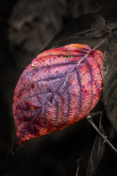 Photograph - Fall Beech Leaf by Dick Pratt