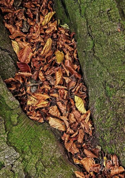 Photograph - Fall Beech Tree Leaves by Martyn Arnold