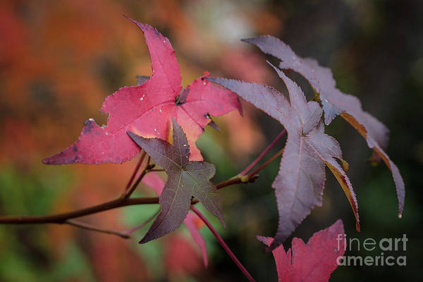 Photograph - Fall Color 5528 48 by M K Miller