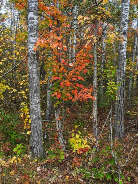 Photograph - Fall Color At Gladwin 4543 by Wesley Elsberry